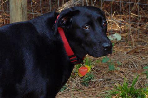 mystery womans labrador retriever bites dog  land trust