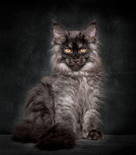 robert sijkas photographs  maine coon cats janet carr