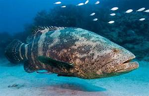 Goliath Grouper Information, and Hd pictures, Photos all ...