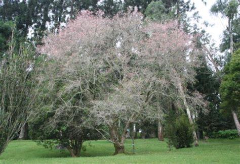 lokasi  rute taman sakura  kebun raya cibodas tak