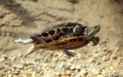 eared slider shedding tiny turtles stage a comeback health pet health nbc news