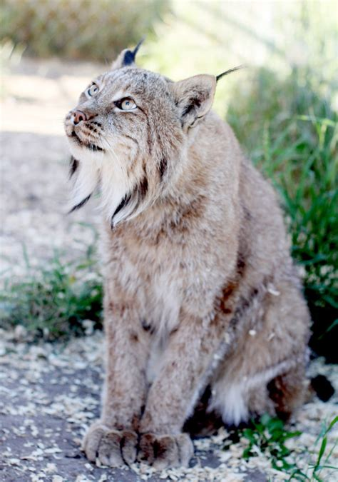 Stevensville Couple Have Big Love For Pet Lynx, Bobcats