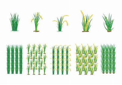 Rice Field Vector Farming Clipart Vectors Cycle