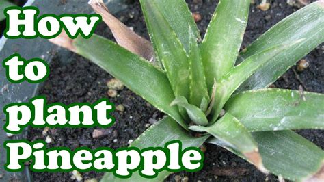 how to grow a pineapple plant growing fruit trees