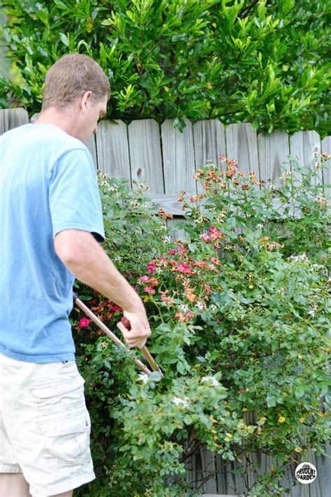 how to trim roses in summer top 28 pruning roses in summer plantinfo gardening tips blog 187 rutgers landscape nursery