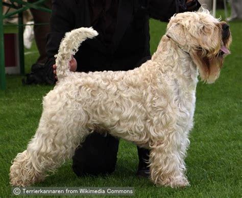 ソフトコーテッドウィートンテリア soft coated wheaten terrier 犬種の歴史 特徴 性格
