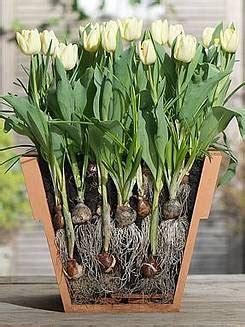 bulbi di tulipano in vaso bulbi in vaso fiorista mariangela