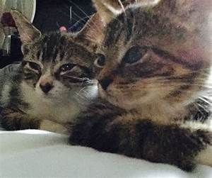 2 Mixed Breed Maine Coon / Tabby Kittens | Sale, Greater ...