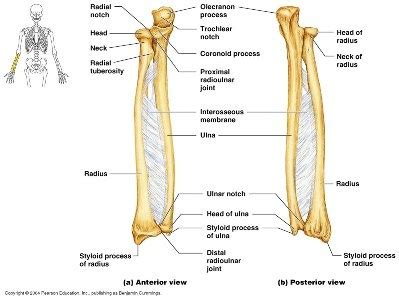 Ulna Diagram Neck by How To Differentiate The Ulna And The Radius Bones In A