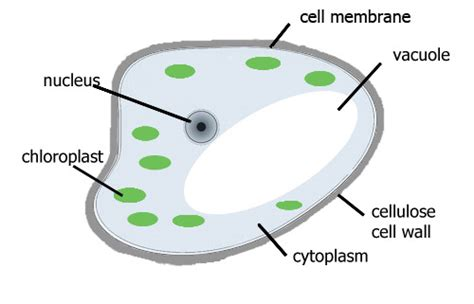 Plants Cells The Properties Plant How They