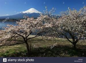 Sakura Baum Kaufen : mount fuji honshu japan asien sakura kirschbl te baum japanische alpen fujisan fujiyama ~ Frokenaadalensverden.com Haus und Dekorationen