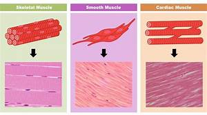 Structure And Function Of Exercising Muscle