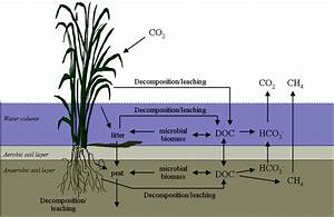 1 Carbon Cycling In Wetlands  Adapted From Debusk  Et Al    2001