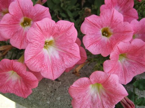 flowers petunias flower homes petunia flowers