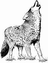 Pages Coloring Coyote Wolves Wolf Lune Canis Hurler Latrans Hurlement sketch template