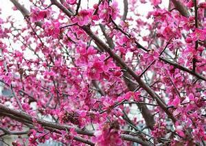 Rosa Blüten Baum : e card schreiben postkarte prunus mume japanische aprikose rosa bl ten hnlich der aprikose ~ Yasmunasinghe.com Haus und Dekorationen