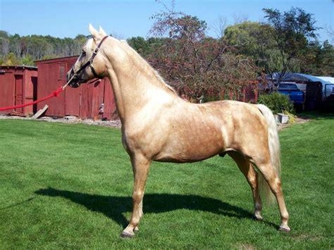 morgan horses horse stallion breed palomino sfg memc tinseltown trail breeding morgans history horsebreedspictures