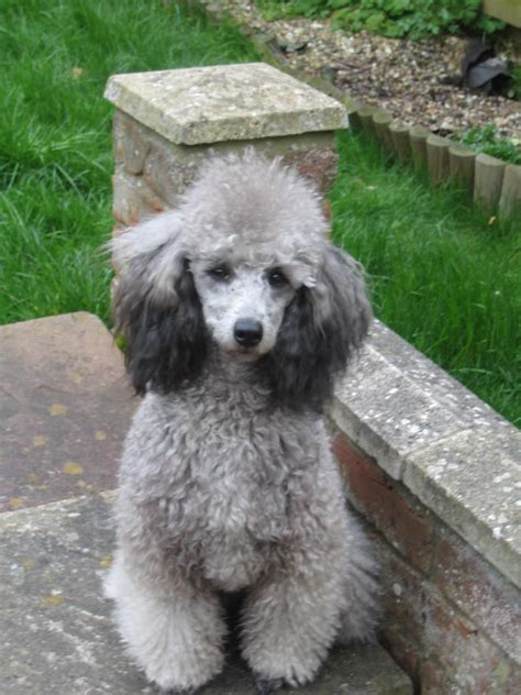 silver poodle jencro standard silver miniature poodles