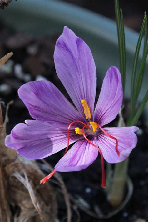 saffron flower 1000 ideas about saffron plant on pinterest saffron