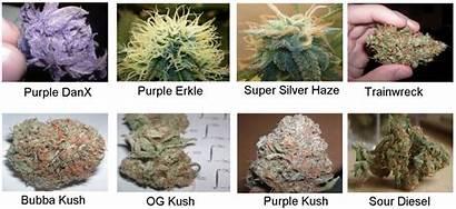 Marijuana Strains Weed Medical Strain Cannabis Types