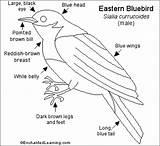 Bluebird Eastern Enchantedlearning Birds Bluebirds Wings Label Eats Insects Printout Bw Credit sketch template