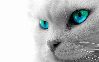 Cat Cats Wallpapers Animal Desktop Background Persian