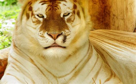 Golden Tiger Wallpaper Download Free