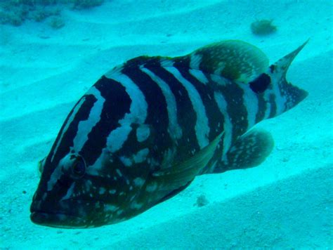 grouper alaska nassau classic fish