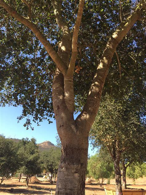 quercus agrifolia coastal  oak big trees nursery