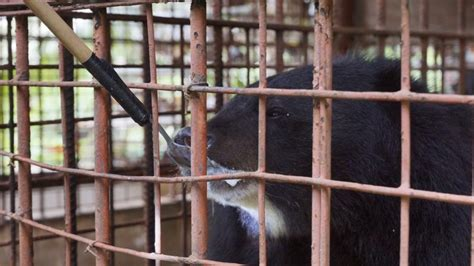 moon bears rescued  hong kong based charity  bile farm  vietnam   trapped