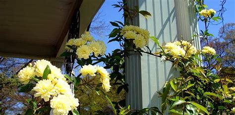 growing  lady banks rose todays homeowner