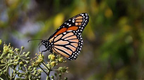 Download Wallpaper 3840x2160 Monarch Butterfly Butterfly