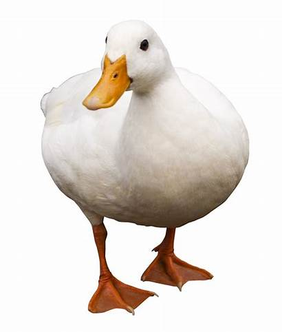 Duck Transparent Clipart Goose Walking Birds Flying