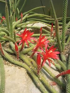 Disocactus Martianus