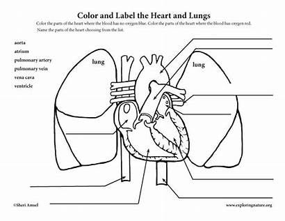 Heart Blood Flow Anatomy Through Coloring Lungs
