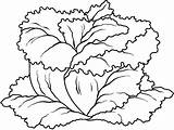 Coloring Lettuce Vegetables Pages sketch template