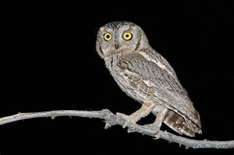 western screech owl audubon field guide
