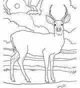 Deer Coloring Template Tailed Templates Animal Pages Mule sketch template