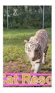 Big Cat Rescue Home Tour: Sapphire the White Tiger - YouTube