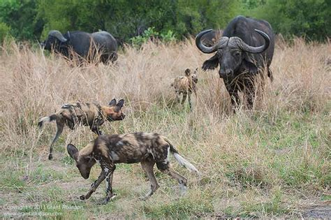 wild dogs african chase buffalo canon 8l shutter 500sec harassing savuti ef f2 speed ii adult