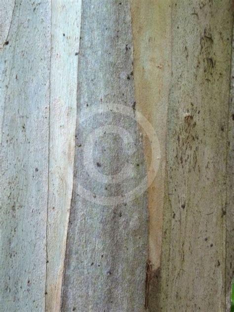 eucalyptus burgessiana faulconbridge mallee ash