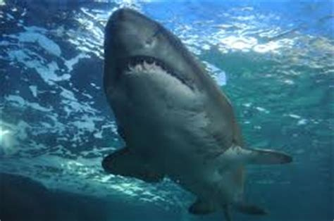 nc shark attacks  nc coast outer banks  nc