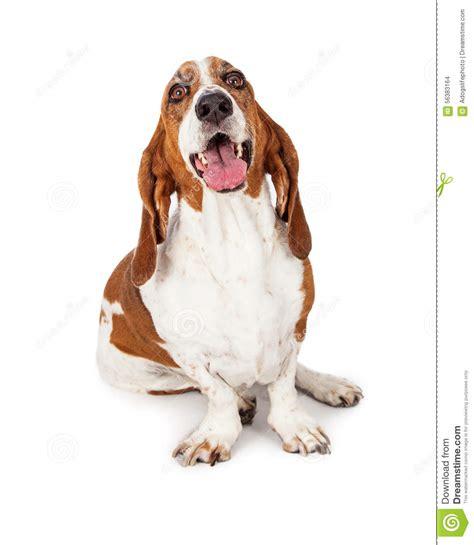 Happy Basset Hound Dog Smiling Stock Photo - Image of copy ...