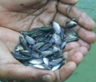 Jual Bibit Ikan Bawal jual benih dan bibit ikan gurame murah ikan bawal bibit