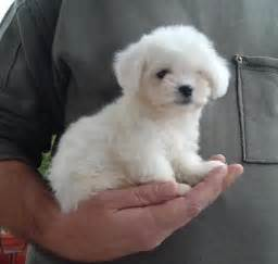 small dogs that dont bark dog breeds picture