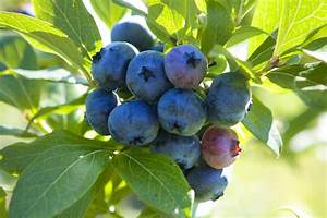 How to Grow Blueberries in the Home Garden