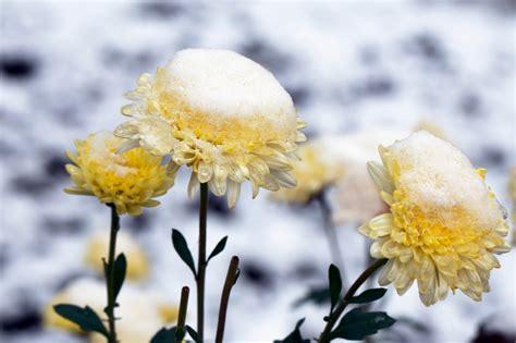 Garten Chrysantheme Kaufen by Chrysanthemen Winterhart Kaufen Sind Chrysanthemen