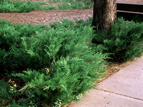 landscaping shrubs and bushes pictures popular landscaping groundcovers and shrubs diy