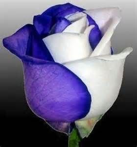 Blue and White Rose Bud