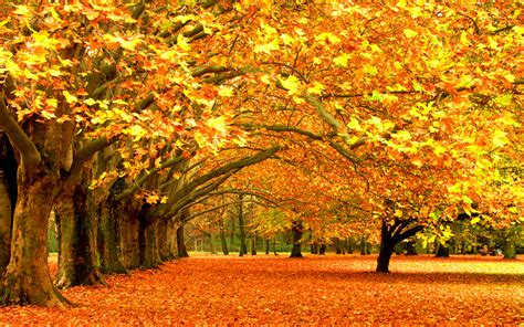 trees with fall foliage wallpaper 758638